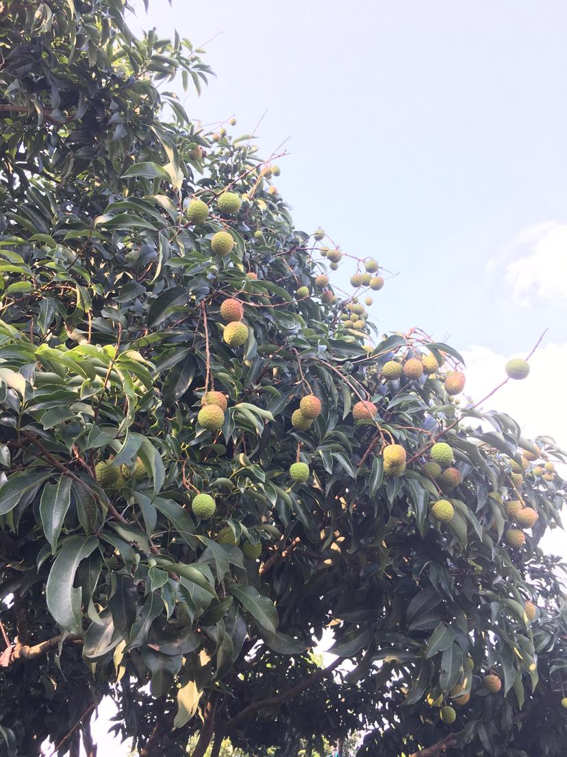大王洲本土荔枝